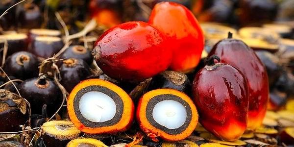 Frutti della palma da olio