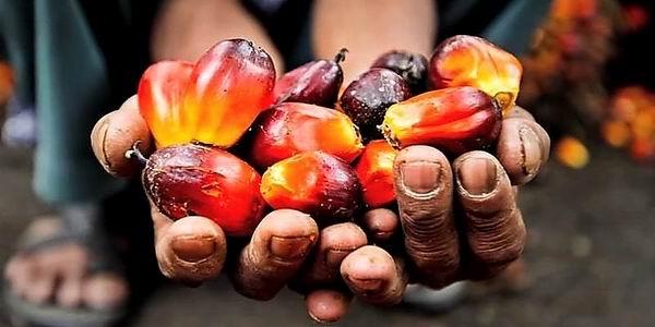 Una manciata di frutti dai quali ricavare olio di palma