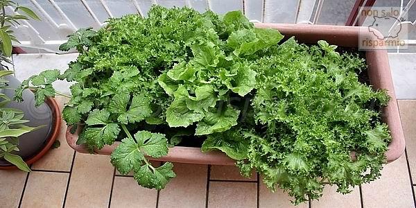 Insalata da balcone (foto M. Cuomo - www.nonsolorisparmio.it)